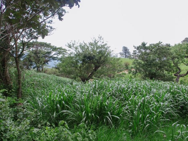 牛のエサを隣の畑で育てています。